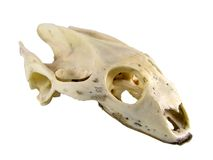 Turtle skull-clipping path Stock Images