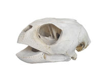 Turtle skull isolated Royalty Free Stock Images