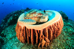 Turtle sleeping in a barrel sponge as divers pass behi Royalty Free Stock Photo