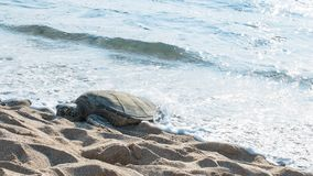 Turtle sleeping. Turtle out of the water stock images