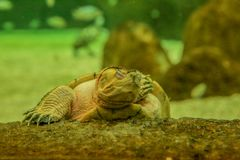 Turtle sleeping on the stone. Turtle with closed eyes holding the stone. Visible head and front paw royalty free stock photos