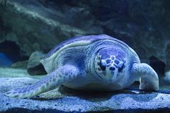 a turtle is sleeping underwater stock photo
