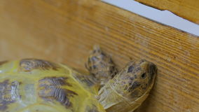 Turtle slowly crawl forward. At zoo stock video footage
