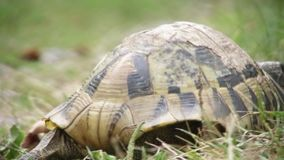 Turtle slowly walking on the green grass stock footage