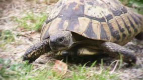 Turtle slowly walking on the green grass stock video footage