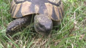 Turtle slowly walking on the green grass stock video