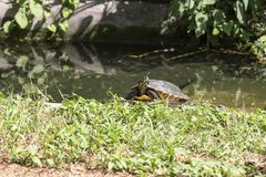 Turtle in a small lake Stock Photo