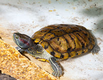 Turtle small on a stone in a pond Royalty Free Stock Images