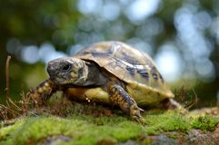Turtle. A small turtle in moss stock photos