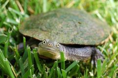 Turtle Smiling. A turtle smiling directly at the camera whilst walking in the grass Stock Photography