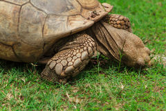 Turtle, Snacking. A very large turtle, in a conservation park, in Lagos, Nigeria Stock Photography