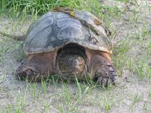 Turtle Snapping Royalty Free Stock Photos