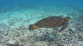Turtle. Snorkeling with turtle at Hawaii stock video footage