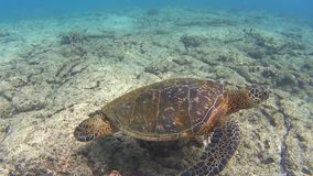 Turtle. Snorkeling with turtle at Hawaii stock video