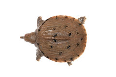 Turtle soft shell Royalty Free Stock Photos