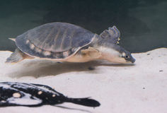 Turtle spineless Chinese Royalty Free Stock Image