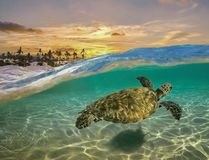 Turtle Split Shot with Sunset and Palm Trees in Maui, Hawaii royalty free stock image