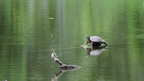Turtle a springboard in water. stock video footage