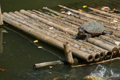 Turtle stand on bamboo raft in the pond with sunny day,natural stock photos