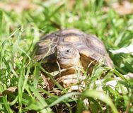 Turtle standing on the grass royalty free stock photography
