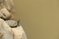 A turtle stay on a stone in a pond Stock Photo