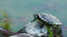 Turtle on the Stone stock video