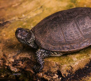 Turtle on stone near  pond Royalty Free Stock Image