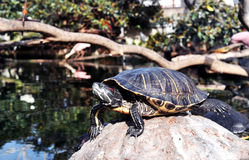 Turtle on the stone Stock Photos
