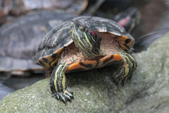 Turtle on the stone Stock Images