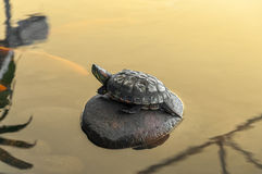 Turtle on stone surrounded by water and some carp Stock Images
