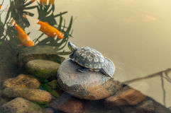 Turtle on stone surrounded by water and some carp. Fish on a ornamental aquarium royalty free stock image