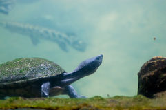 Turtle stretching Royalty Free Stock Images