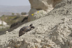 A turtle stubbornly moving up the hill in sunny day Stock Images