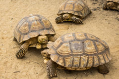 Turtle,Sulcata tortoise, Thailand zoo Royalty Free Stock Image