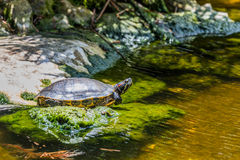Turtle sun bathing on a stone in a pond Stock Photos