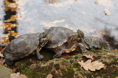 The turtle sunbath on the coast of lake with fall leaves on it Stock Image