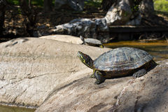 Turtle sunbathe Royalty Free Stock Photo