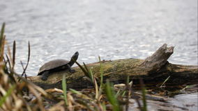 Turtle sunbathing on a log. Turtle sunbathing on bank of the river stock video footage