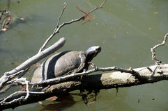Turtle sunbathing Royalty Free Stock Images