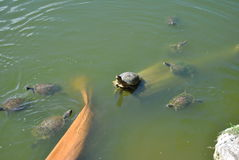 Turtle sunbathing. A pond with snapping turtles and some logs royalty free stock image