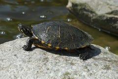 Turtle sunbathing on pond Stock Image