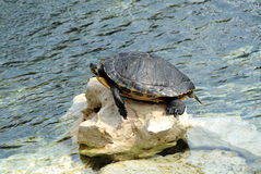 Turtle Sunbathing on Rock at Edge of Water Stock Photography