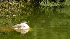 Turtle sunbathing on rock lake stock footage