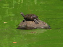 A turtle sunbathing. A turtle is sunbathing during September Royalty Free Stock Photography