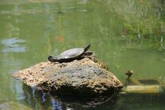 Turtle sunbathing on a stone. royalty free stock image