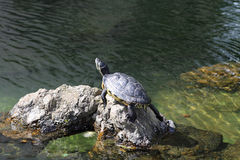 Turtle sunbathing on a stone Royalty Free Stock Image