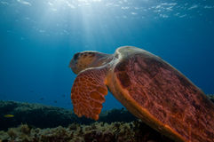 Turtle and sunburst Stock Image