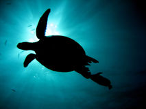 Turtle in sunlight. Turtle going to the surface for air royalty free stock image