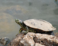 Turtle sunning. Himself next to pond Royalty Free Stock Photo