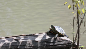 Turtle sunning itself. This is an image of a turtle sunning itself on a log Stock Image